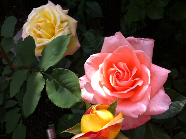 rose_640x478px